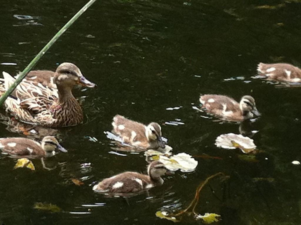 Duckling update!